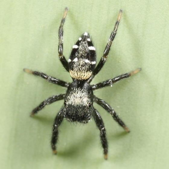 Jumping spider - Paraphidippus basalis