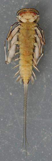 Ecdyonurus criddlei - voucher specimen, in alcohol - Ecdyonurus criddlei