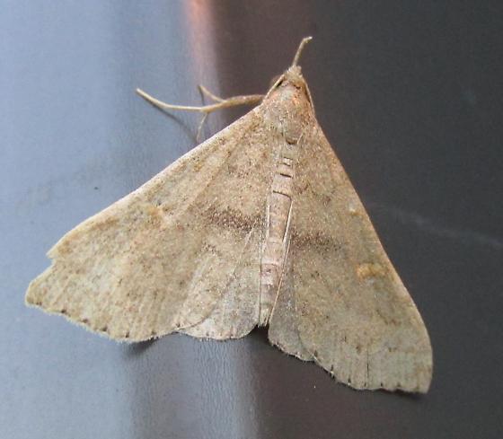 Unknown Moth - Renia adspergillus - female