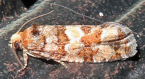 White Pine Cone Borer - Eucopina tocullionana