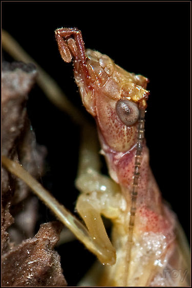 Two-spotted Tree Cricket - Neoxabea bipunctata - male