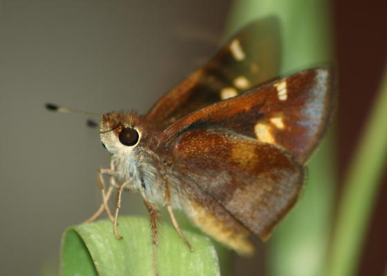 butterfly - Poanes melane