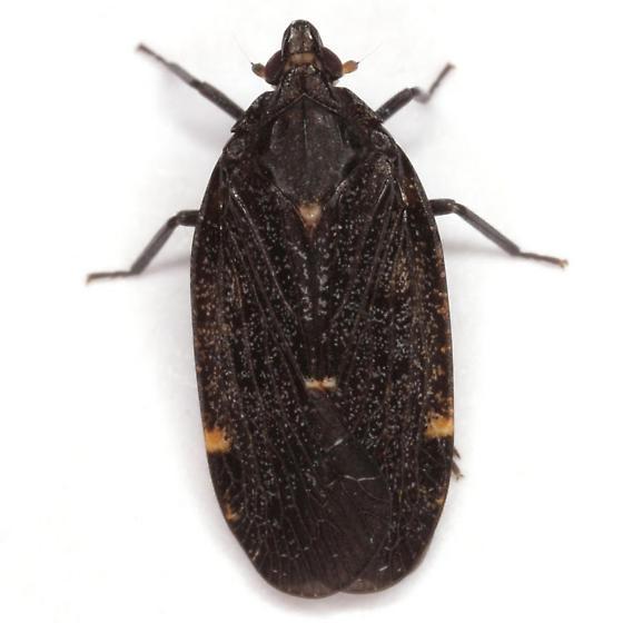 Cixidia (Epiptera) opaca Say - Cixidia opaca