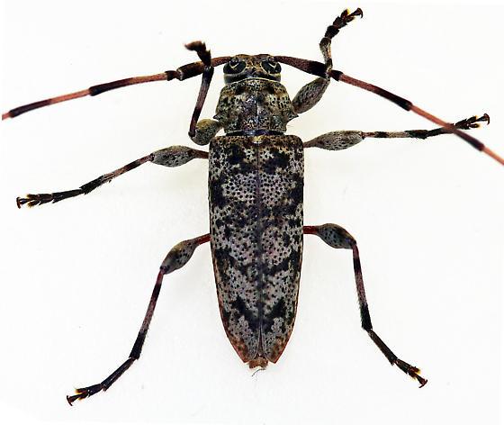 Longhorned Beetle - Acanthocinus obsoletus - male