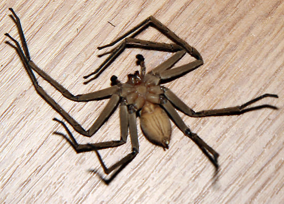 large spider - Heteropoda venatoria