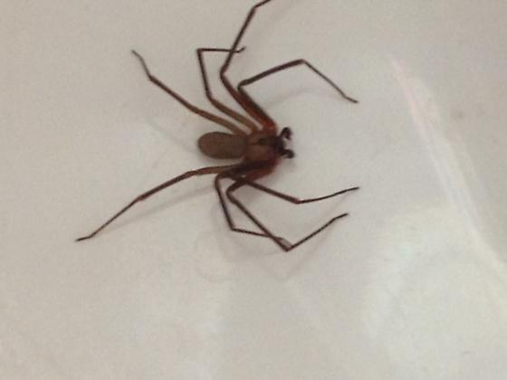Found this spider in my sink.  Can someone please help ID it? - Loxosceles