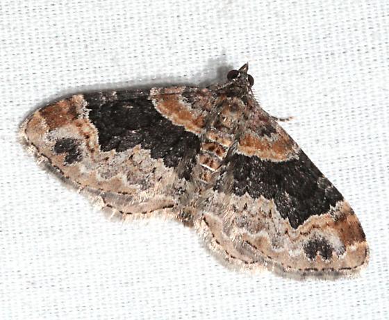 moth01 130520 - Xanthorhoe ferrugata - male