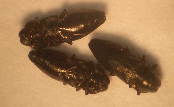 Buprestids? - Aphanisticus cochinchinae