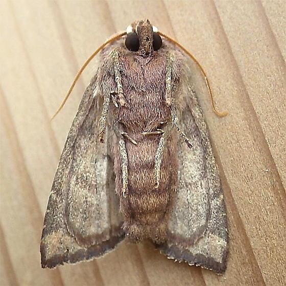 Noctuidae: Papaipema insulidens - Papaipema insulidens