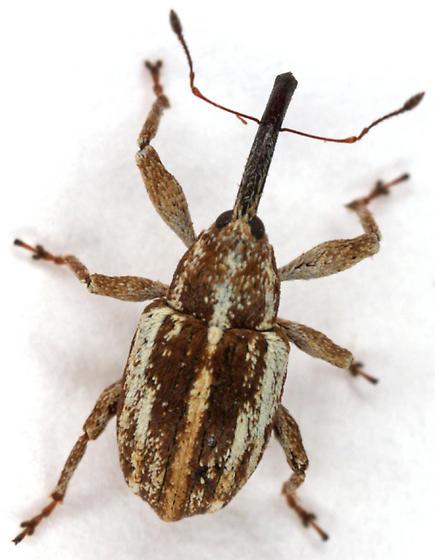 unknown Curculionid - Anthonomus helianthi