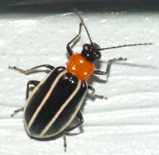 Leaf Beetle - Acalymma vinctum