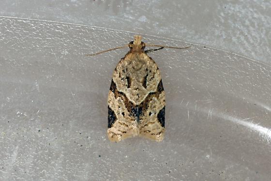 moth - Clepsis peritana