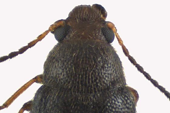 False Darkling beetle - Symphora rugosa