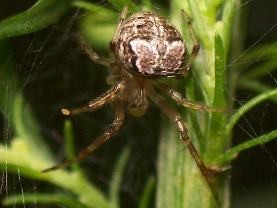 Araneus pegnia - male