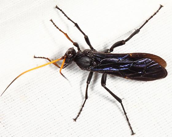 Gnamptopelta obsidianator - male