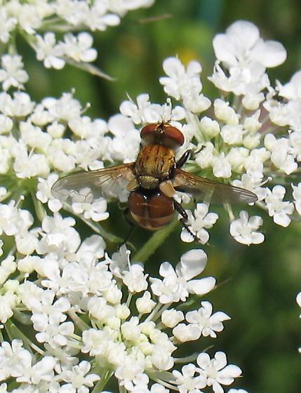 Syrphidae? Diptera - Gymnoclytia
