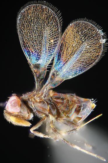 Minute wasp - Aphelinoidea - female
