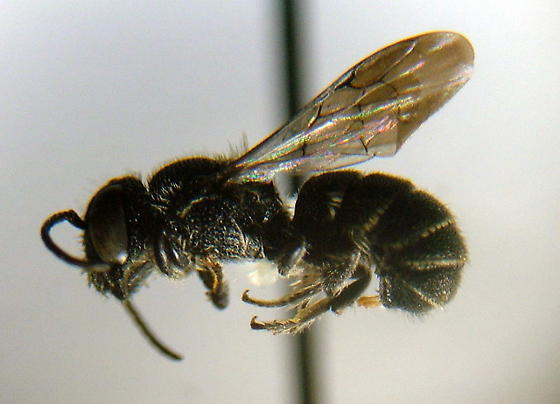 Bee - Heriades leavitti - male