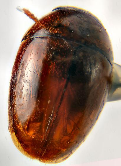 Phalacridae?? - Stilbus