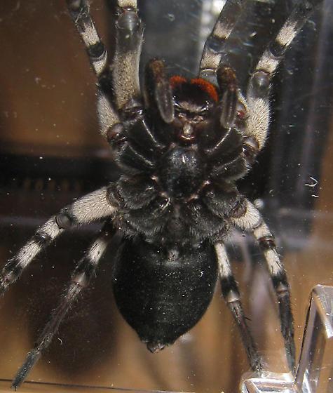large spider - Hogna carolinensis