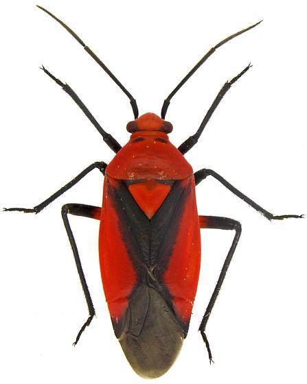 Female, Oncerometopus nigriclavus? - Oncerometopus nigriclavus - female
