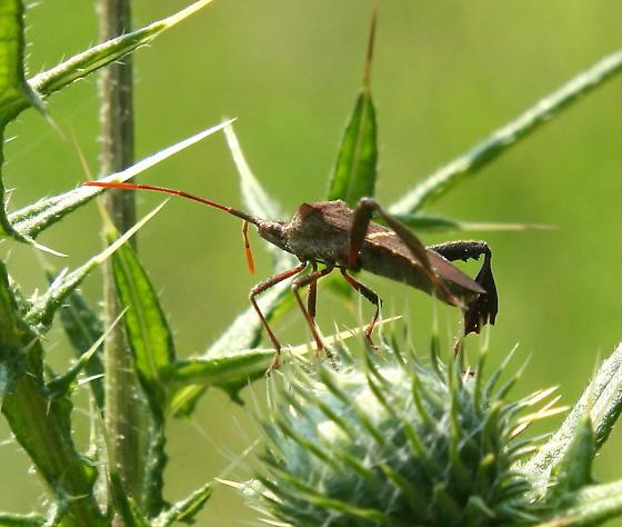 Leaf-footed bug - Leptoglossus phyllopus - Leptoglossus phyllopus