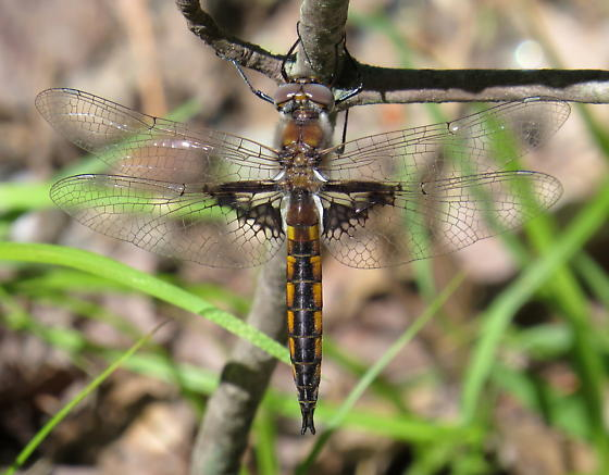 Mantled Baskettail - Epitheca semiaquea - male