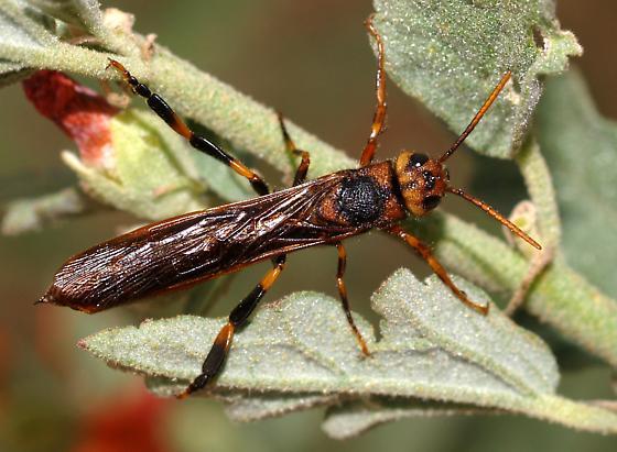 Wasp, Siricidae? - Tremex columba - male