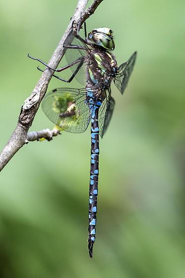 Green-striped Darner (Aeshna verticalis)? - Aeshna verticalis - male