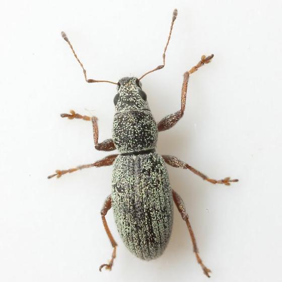 Mitostylus tenuis Horn - Mitostylus tenuis