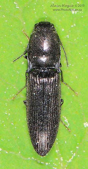 Melanotus ? - Corymbitodes elongaticollis
