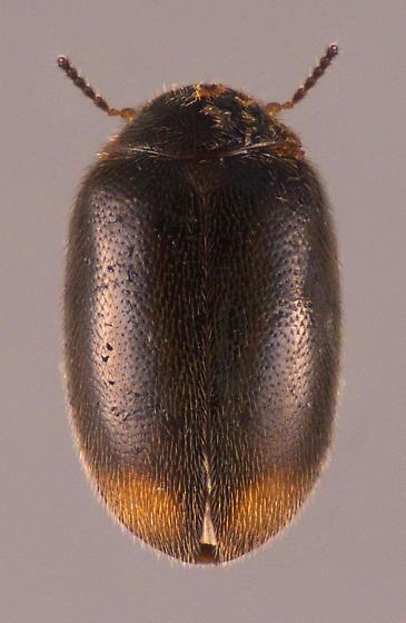 Beetle - Contacyphon padi