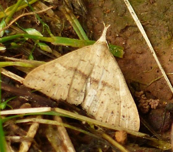 Dotted Renia Moth - Renia salusalis