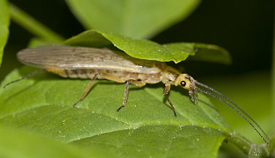 Green-winged Stonefly