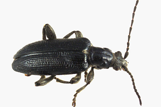 Aquatic Leaf Beetle - Plateumaris frosti