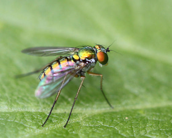 Fly - Condylostylus - female