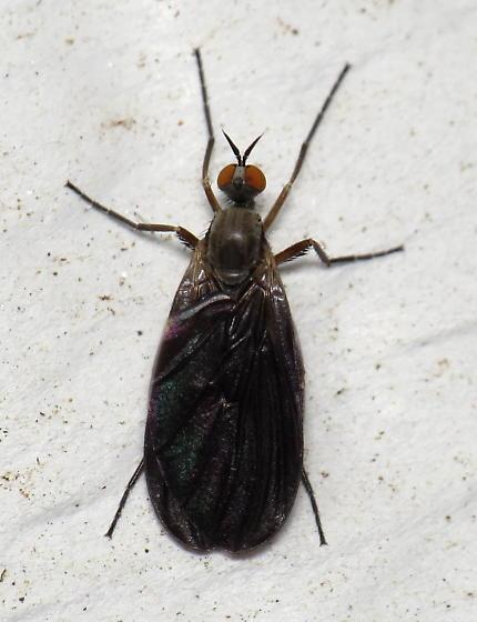 Black-winged fly - Rhamphomyia