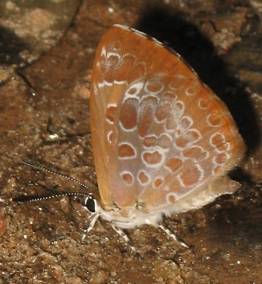 Harvester butterfly - Feniseca tarquinius
