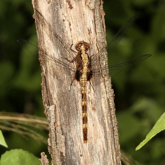 Dragonfly - Erythemis plebeja - female