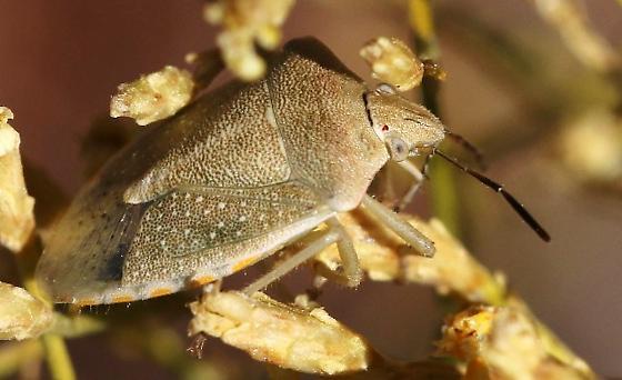 Stink Bug, pale green/tan - Thyanta