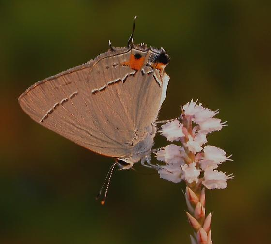 Strymon melinus - male