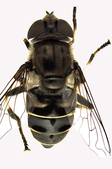 Syrphid Fly - Eristalis dimidiata - female