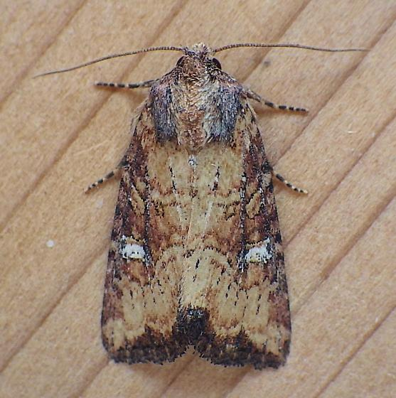Noctuidae: Mesapamea fractilinea - Mesapamea fractilinea