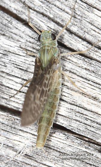 Ephemeroptera - Callibaetis skokianus