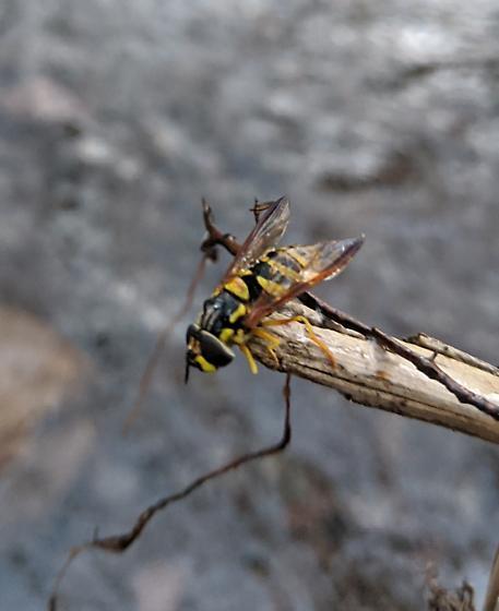 Wasp Mimic Fly