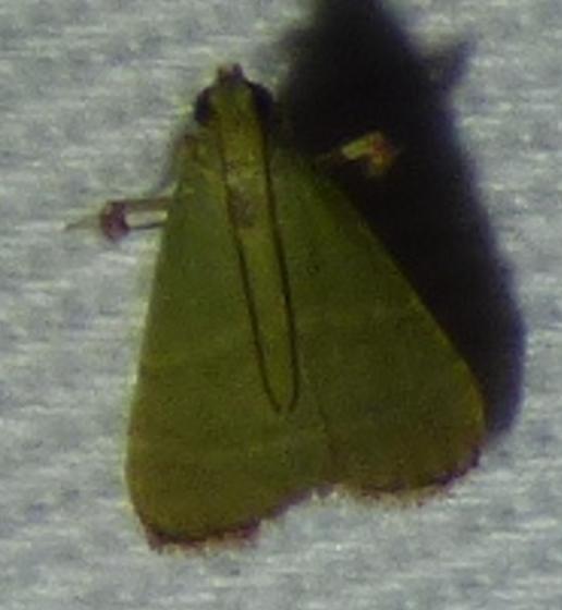 Arta olivalis - Olive Arta Moth - Arta olivalis