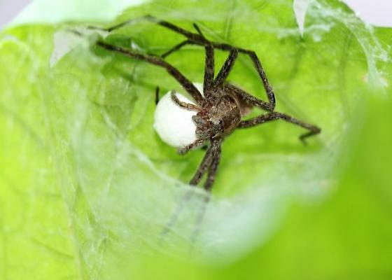 BrownSpider with egg sac - Pisaurina mira