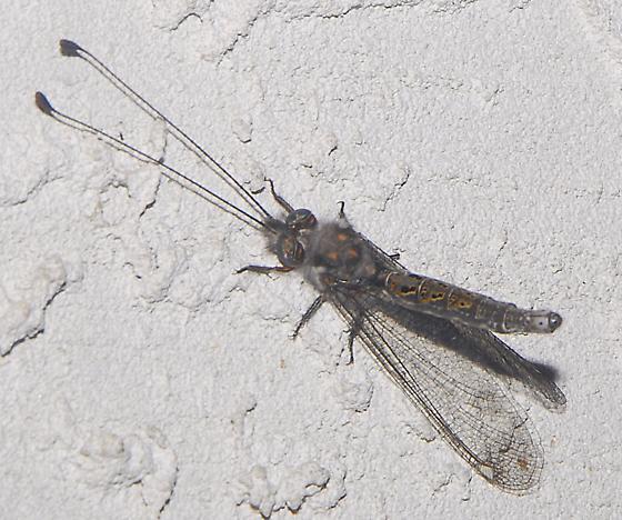 Four-spotted Owlfly - Ululodes quadripunctatus  - Ululodes quadripunctatus - female