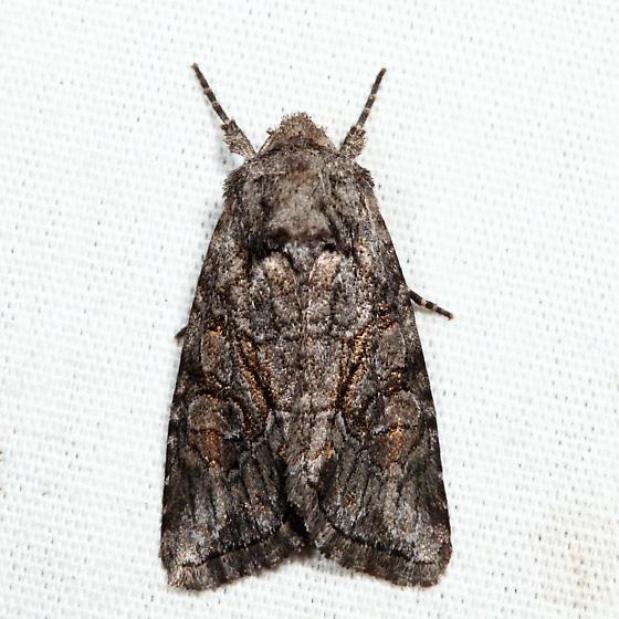 moth - Lacinipolia vicina