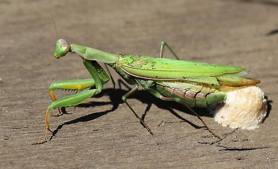 European Mantis laying eggs - Mantis religiosa - female